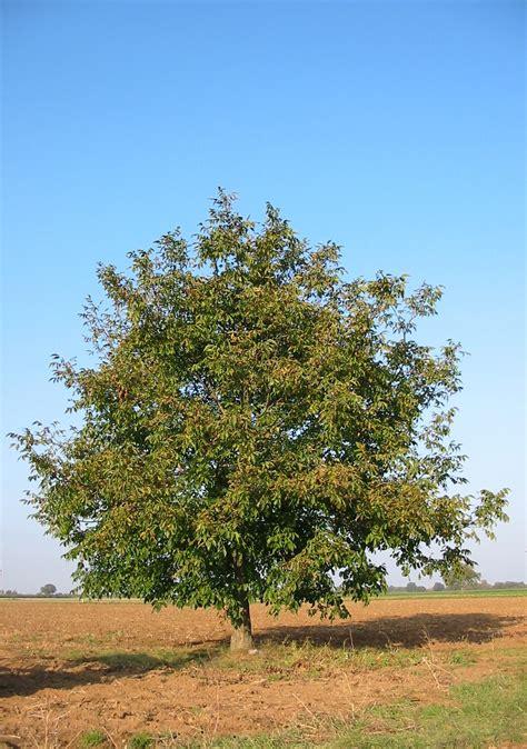 walnut tree file walnut tree 20041012 2599 jpg