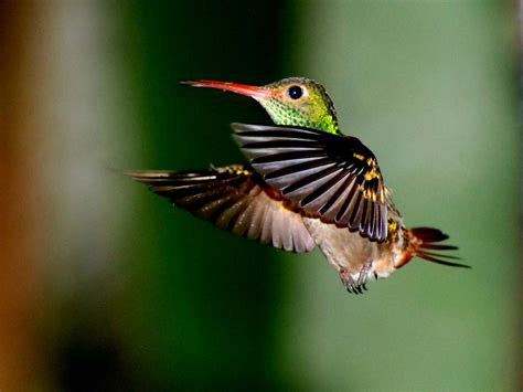 wildlife of the world hummingbirds beautifull smal bird