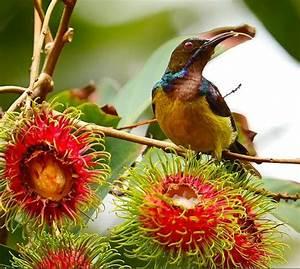 Birds and rambutan (Nephelium lappaceum) fruits – Bird ...