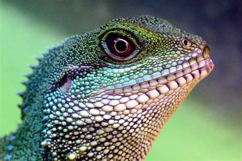 picture lizard reptile wildlife nature