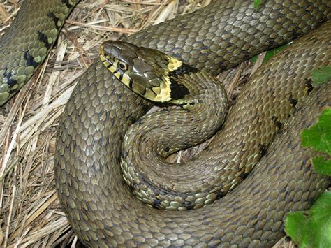 froglife news dragon   month grass snake
