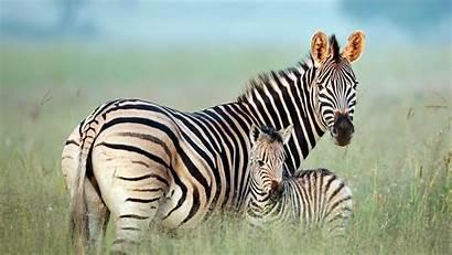 Bing Zebra Mother Foal Burchell Happy Nature