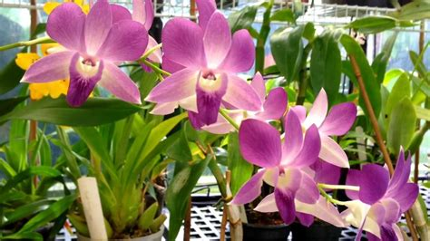 how to get phalaenopsis to bloom orchid care dendrobium phalaenopsis orchid in full bloom