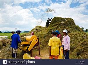 Filipino Workers Threshing Rice Using A Mechanical Rice
