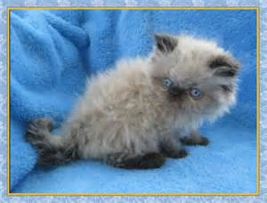 Seal Point Himalayan Kittens for Sale