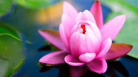 gambar bunga teratai   mekar pernik dunia