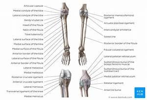 Leg And Knee Anatomy  Bones  Muscles  Soft Tissues