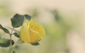 Yellow Rose Wallpaper 46811 2560x1600 px ~ HDWallSource.com