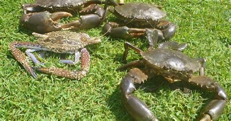 mud crab farming freshwater meat