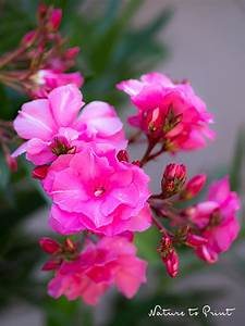 Oleander Draussen überwintern : oleander pflegen durchs ganze jahr und mit stecklingen vermehren ~ Eleganceandgraceweddings.com Haus und Dekorationen