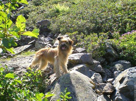 berger des pyrenees pyrenean shepherd pyrenean