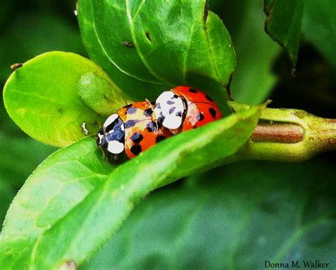 ladybug vs asian beetle asian lady beetles vs native ladybugs