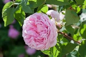 Alte Rosensorten Stark Duftend : die 25 besten ideen zu alte englische rosen auf pinterest ~ Michelbontemps.com Haus und Dekorationen