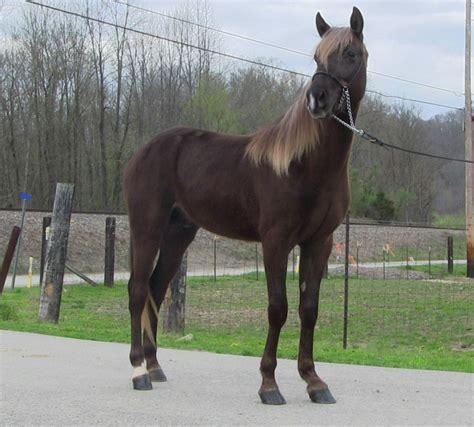 gaited horse quotes quotesgram