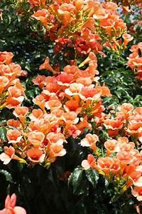 Blühende Kletterpflanzen Winterhart Mehrjährig Schnellwachsend : 12 tolle vorschl ge f r schnellwachsende kletterpflanze im garten ~ Eleganceandgraceweddings.com Haus und Dekorationen