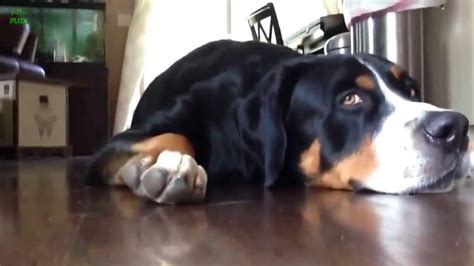 Funny Dog Videos Compilation 2013 Hd Youtube