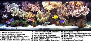 Ultra Green Palythoa Zoanthid Soft Coral For Sale At