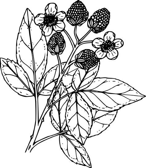 raspberry bush clipart black and white clipart black raspberry