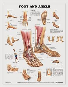 This Chart Shows Foot And Ankle Bone And Ligament Anatomy