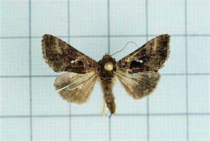Chrysodeixis Minutus Wikipedia Male