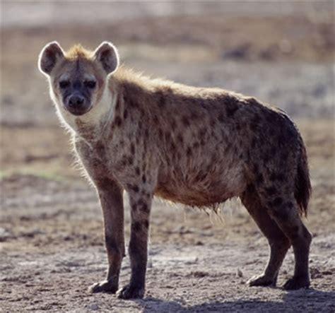 amazing animal facts hyenas