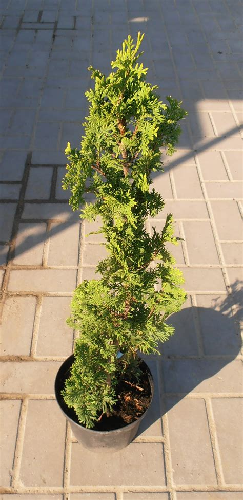 thuja occidentalis degroots spire plants direct