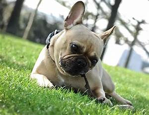 Hundebekleidung Französische Bulldogge : hunde die franz sische bulldogge ein liebenswerter dickkopf ~ Frokenaadalensverden.com Haus und Dekorationen