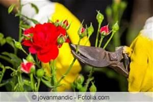 Zimmerpflanzen Alte Sorten : wann rosen schneiden tipps zum rosenschnitt im fr hling ~ Michelbontemps.com Haus und Dekorationen