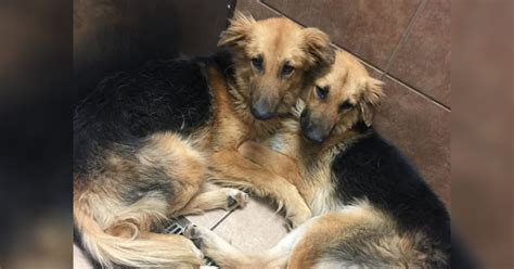Dogs Dumped At Kill Shelter Were So Scared That They Wouldnt Let Go Of Each Other Then