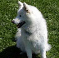 Hypoallergenic Dog Breed Samoyed
