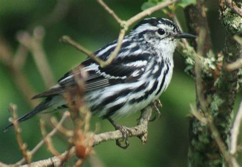 nature tales and camera trails a black and white warbler