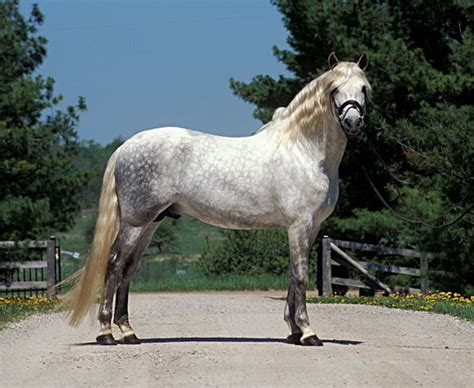 horse andalusian temperament horses breeds rare facts most management care dummies clix