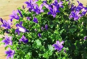 Bodendecker Blau Blühend Winterhart : bluhende winterharte steingartenpflanzen ~ Michelbontemps.com Haus und Dekorationen