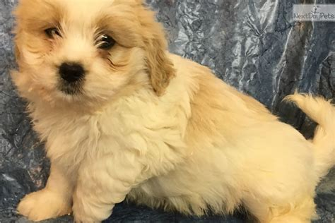 Do Cavachons Shed by Cavachon Puppy For Sale Near Baltimore Maryland