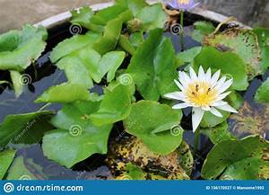White Water Lily With Green Leaves  Stock Image