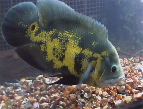 allahs  appears   oscar fish islamic miracle picture