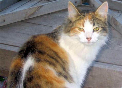 tortoiseshell cat catstips wiki fandom powered  wikia
