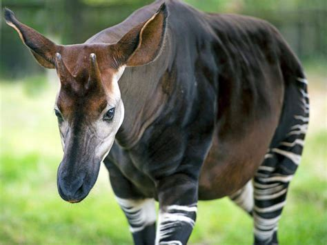 Rainforest Animals Okapi