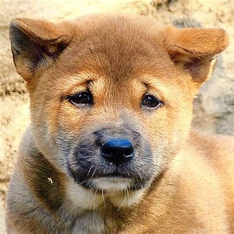 dogs dog eyes breeds rare wild chow almond puppy singing guinea bright shaped cattle african reflective golden mix dark zoo