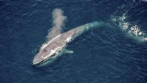 Wie Groß Ist Ein Elch : gro wie ein wal forscher untersuchen den gigantismus der bartenwale ~ Eleganceandgraceweddings.com Haus und Dekorationen