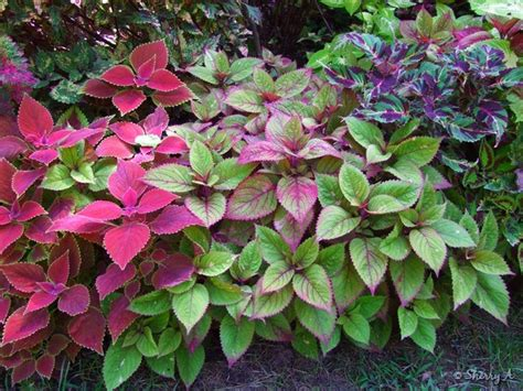 plants for a shady area the coleus bed in august sherry s place