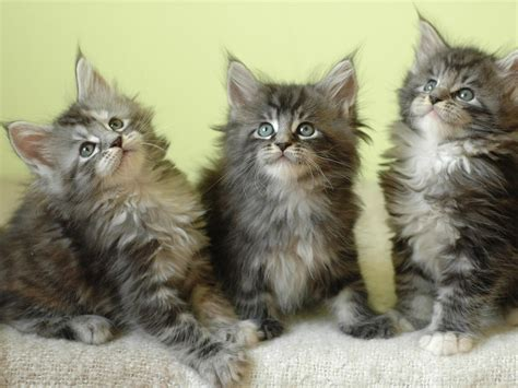 maine coon cat personality characteristics  pictures