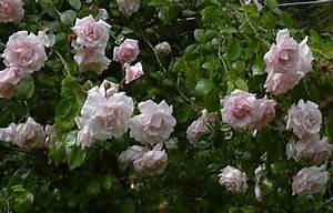 Kletterrose New Dawn : kletterrose new dawn tipps zum anpflanzen schneiden und ~ Michelbontemps.com Haus und Dekorationen