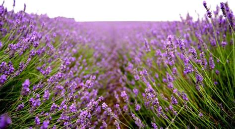 can i plant lavender in september 5 plants you need in a therapeutic garden belfasttelegraph co uk