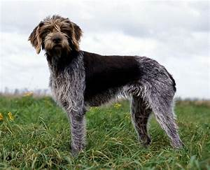411 best Wire-Haired Griffons and other Dogs images on ...