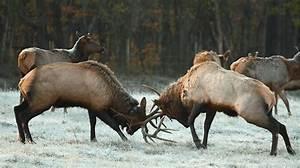 Hunter Arrows Monster Bull Elk At 10 Yards During Fight