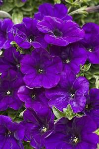 Supertunia® Mini Blue - Petunia hybrid | Proven Winners