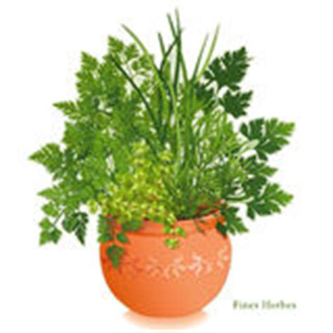 fresh chervil herb in a flower pot royalty free stock photos image 16611168