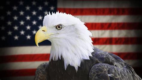 american bald eagle haliaeetus leucocephalus is the