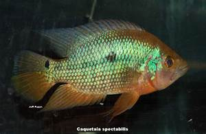 Central American Cichlids List